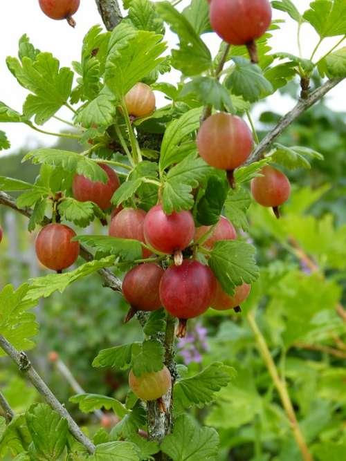 Gooseberry Ribes Fruit Berries Garden Vitamins