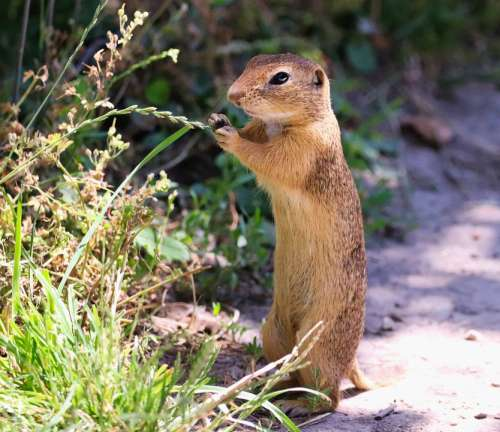 Gopher The European Standing Panáčkující Rodent
