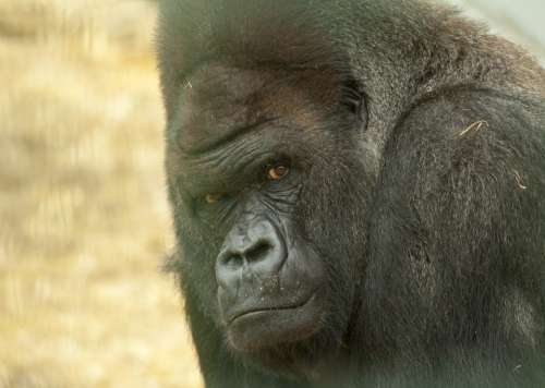 Gorilla Looking Stare Stares Intent Intently