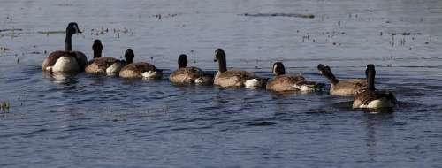 Goslings Geese Chicks Waterfowl Young Bird Lake