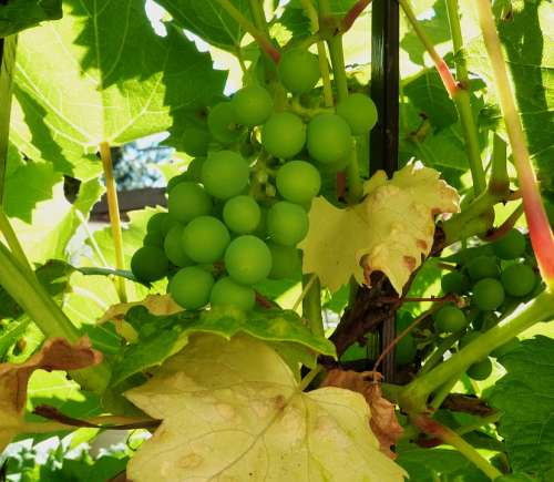 Grapes Wine Fruit Winegrowing Vine Grapevine