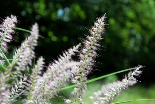 Grass Ornamental Tall Feathery Decorative Seeding