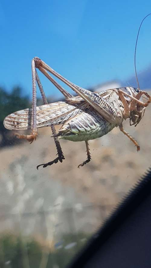 Grasshopper Crete Greece