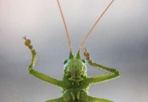 Grasshopper Green Tettigonia Viridissimam Insects