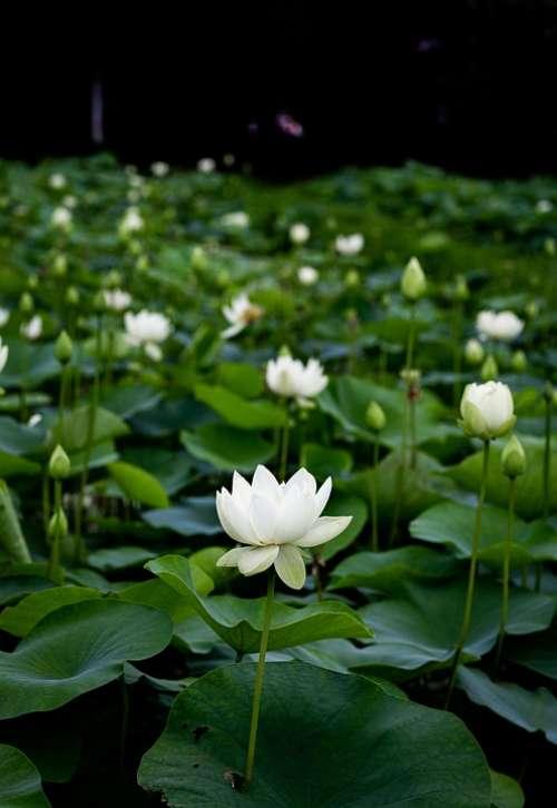 Green Flower Lotus Plants Leaf Nature Lotus