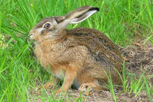 Haas Pasture Grass Long Ears Meadow Summer Spring