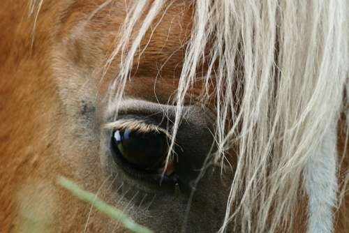 Haflinger Horse Moons White Brown Animal Eye
