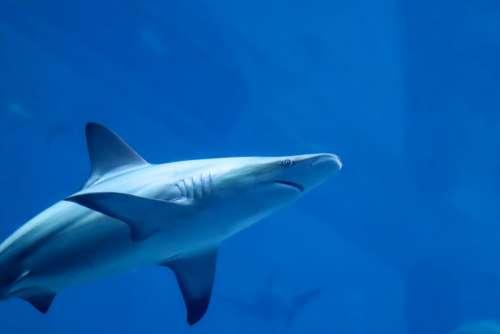 Hai Predator Fish Ocean Sea Dangerous Underwater