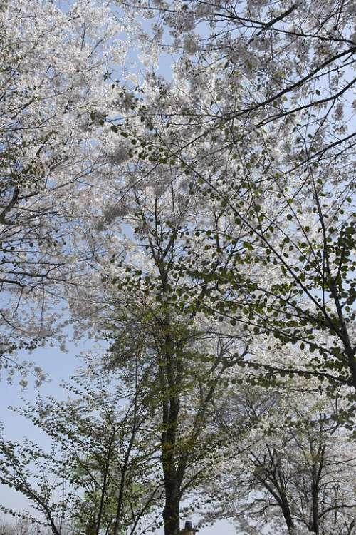 Hanami Wood Spring Pink Landscape Nature Flowers