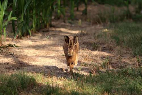 Hare Long Eared Wild Animal Wild