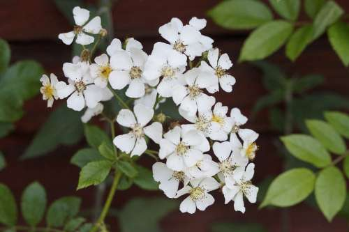 Heck Roses Roses Plant Bloom White Blossom Bloom