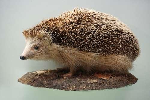 Hedgehog Prickly Museum Stuffed Mammal Animal