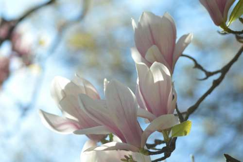 Hell White Pink Magnolia Tree Branch Nature Sun