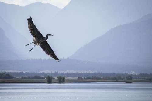 Heron Flying Wildlife Refuge Ninepipe Montana