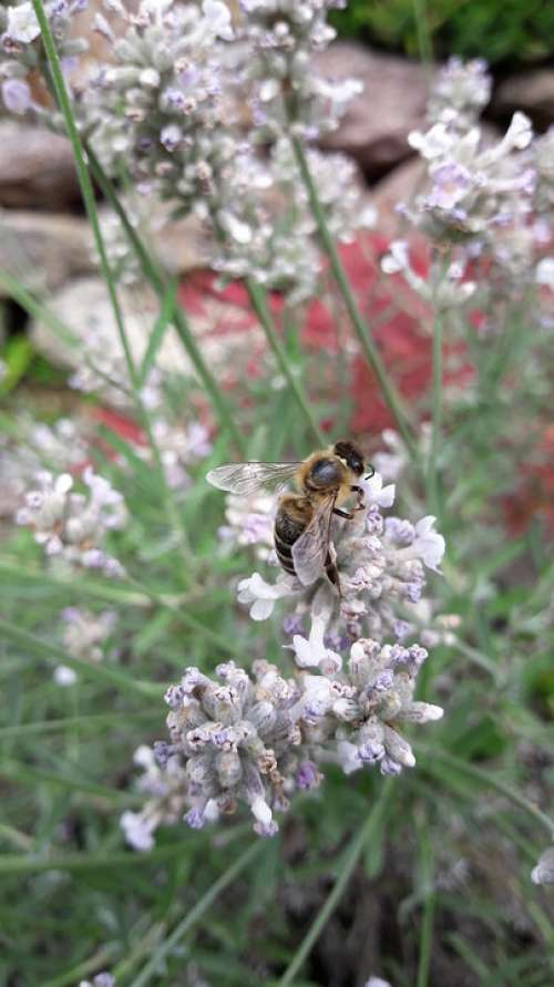 Honey Bee Bee Insect Collect Nature Blossom Bloom