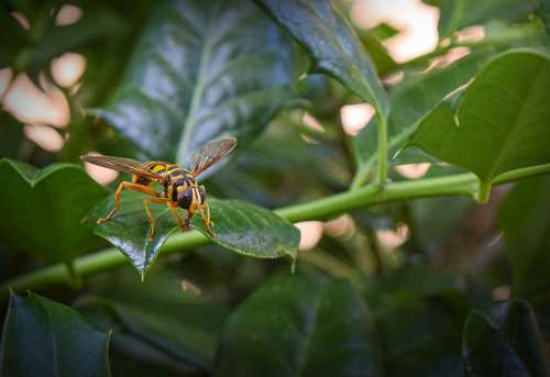 Hornet Insect Nature Sting Yellow Wings Summer