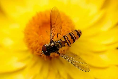 Hover Fly Insect Nature Close Up Fly Blossom