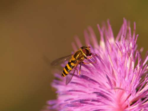 Hoverfly Animal Insect Blossom Bloom Flower Macro