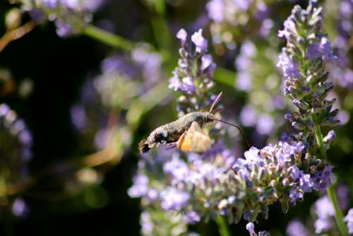 Hummingbird Hawk Moth Moth Insect Proboscis Flying