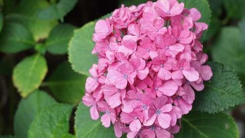 Hydrangea Flowers Rainy Season Flower Pink