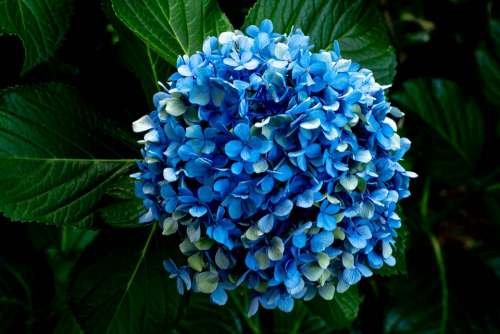 Hydrangea Bloom Blue Flowers Flora Blossom Plant