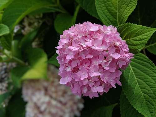 Hydrangea Flower Blossom Bloom Plant Floral