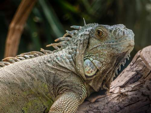 Iguana Lizard Reptile Zoo Animal Exotic Tropical