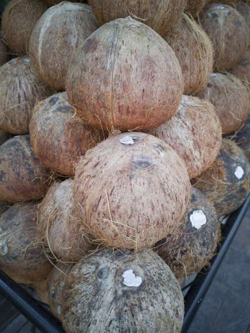 India Coconut Juicy Palm Feeder Diet Food Exotic