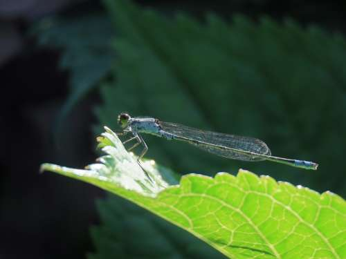 Insect Dragonfly Damselflies Plant Leaf Blue