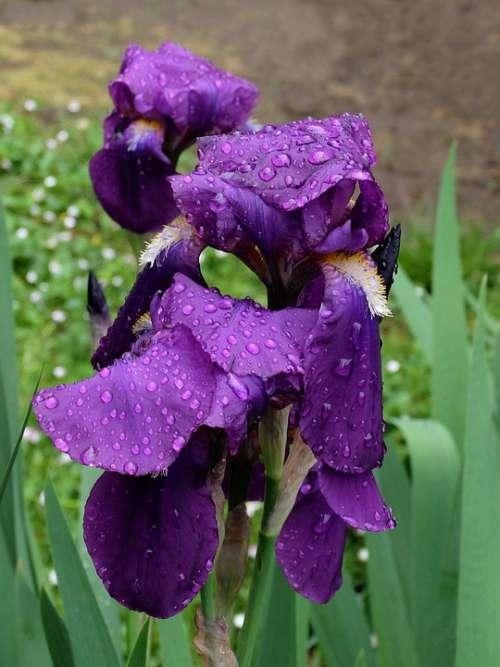 Iris Violet Flower Garden