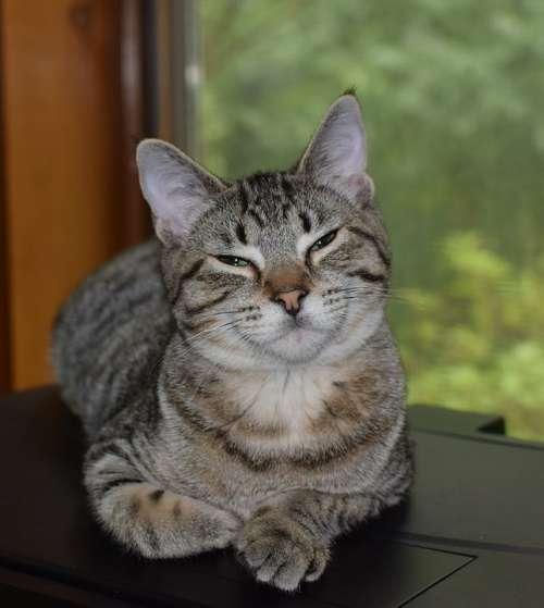 Kitten Cat Feline Gray Tabby Sleepy Cute Furry