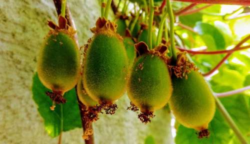Kiwi Fruit Green Young Grow Vitamins Eat Fruits