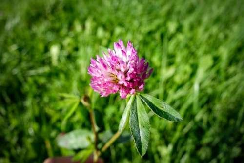 Klee Clover Flower Purple Green Macro Close Up