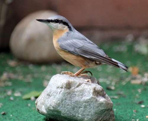 Kleiber Garden Bird Small