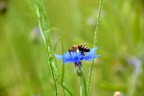 Kornblume Biene Natur Cornflower Nature Bee Plant