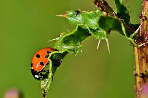 Ladybug Leaf Aphid Macro Lucky Charm