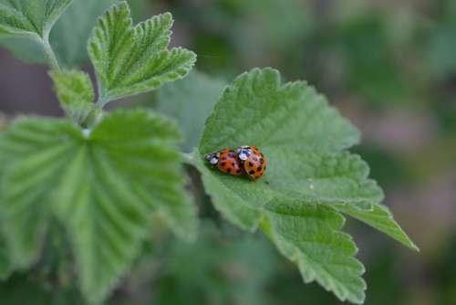 Ladybug Nature Insect Beetle Garden Lucky Charm