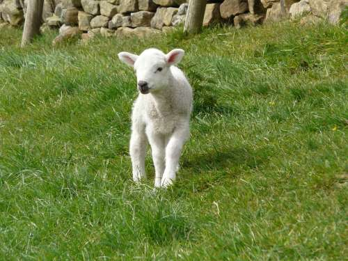 Lamb Spring Farm Animal Cute Wool