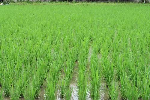Landscape Paddy Field Rice Green Outdoors