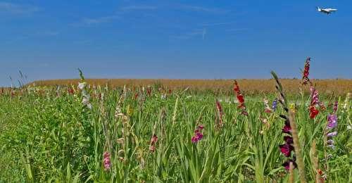 Landscape Nature Meadow Flowers Gladiolus Summer