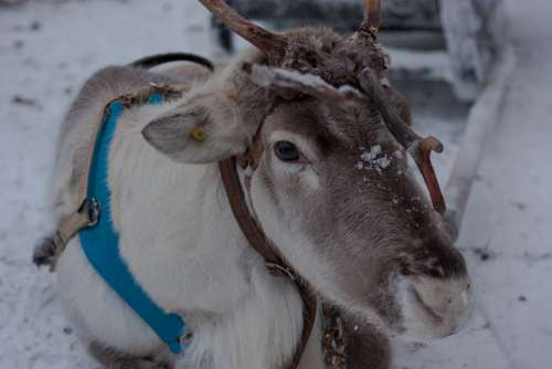 Lapland Reindeer Sled Snow Winter Scandinavia