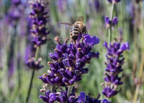 Lavender Nature Plant Flower Insect Macro Summer