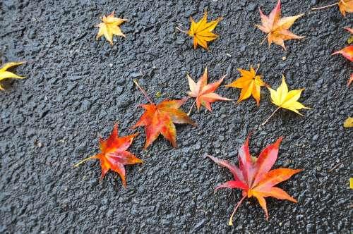 Leaf Fall Season Tree Colorful Forest Nature