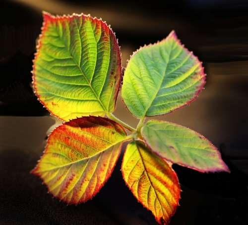 Leaves Autumn Fall Blackberry Colorful Garden