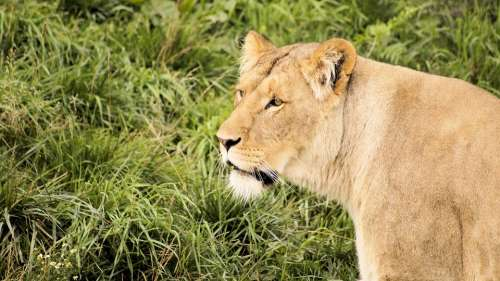 Lion Grass Glance Animal Mammal Nature Carnivore