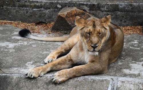 Lioness Animal Cat Feline Nature Large Wild Zoo