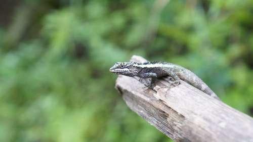 Lizard Outdoor Green The Wild