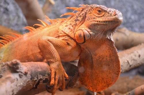 Lizard Reptile Nature Iguana Dragon