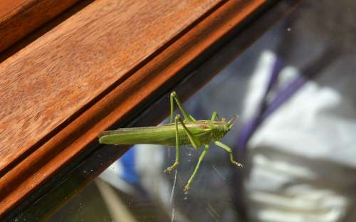Locust Insect Green Animal