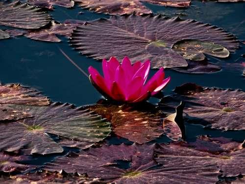 Lotus Water Lily Flower Flower Head